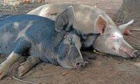 Afrikansk svinpest sprider sig i Europa
