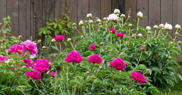 Med pioner blir trädgården mustig och varm.