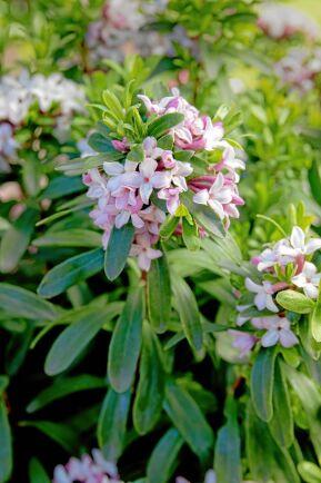 Den storvuxna hybriden rikblommig tibast 'Pink Fragrance' har rosa knoppar och rosavita blommor. Höjd upp till 90 cm.