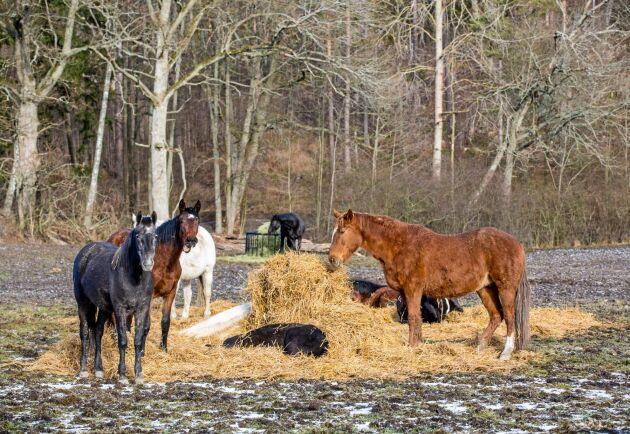 Hästarna i lösdrifterna har fri tillgång på hösilage och utfodringen sker med hjälp av traktor.