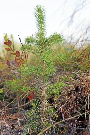 Planta behandlad med det mekaniska skyddet Conniflex.