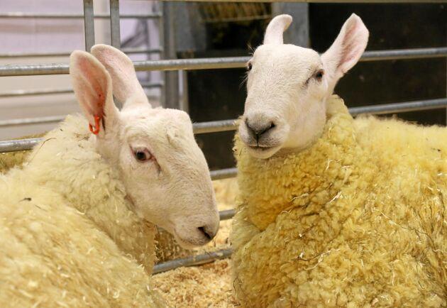 Border Leicester är en fårras som Tangará Farm har introducerat i Sverige.