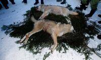 Osäkra uppgifter om illegal jakt på varg
