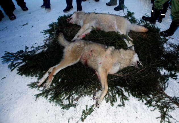 Dessa vargar dödades under licensjakt.