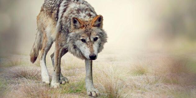 Sverige måste införa licensjakt på varg