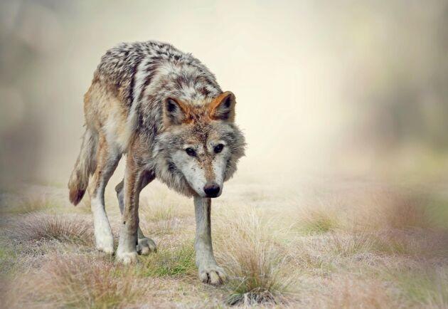 Sverige måste införa licensjakt på varg för att minska populationen, skriver Henrik Tågmark.