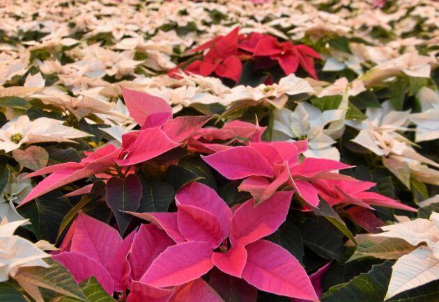 Vita och rosa julstjärnor finns också. Men de röda dominerar.