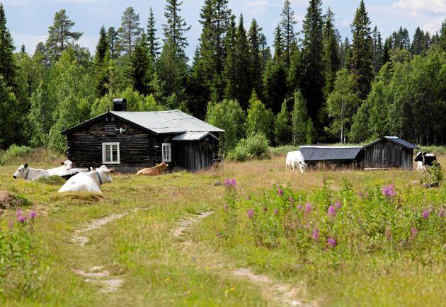 I dag finns det färre än 200 fäbodar med djurhållning kvar i Sverige.