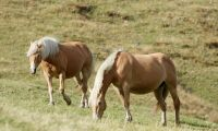 Foderbrist kan tvinga hästar till slakt