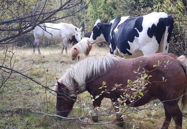 Hilda trivs bra bland hästarna i hagen.