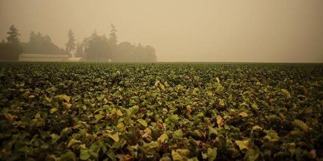 Skogsbränderna rasar i västra USA