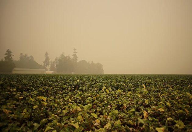 Luften runt farmen i Colton, Oregon, är tät av rök från skogsbränderna som hittills omfattat 400 000 hektar.i