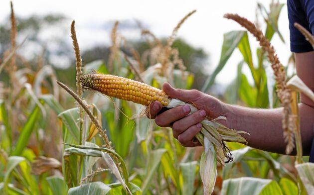 På Tommy Petterssons gård i Alböke är det snart dags för majsskörd. Men torkan har tagit majsen hårt.