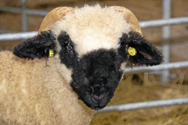 Walliska svartnosfåren föds upp både för kött och ull.