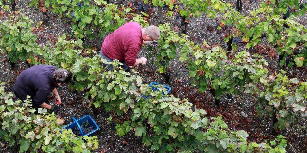 Fransk vinproduktion minskar efter dåligt väder