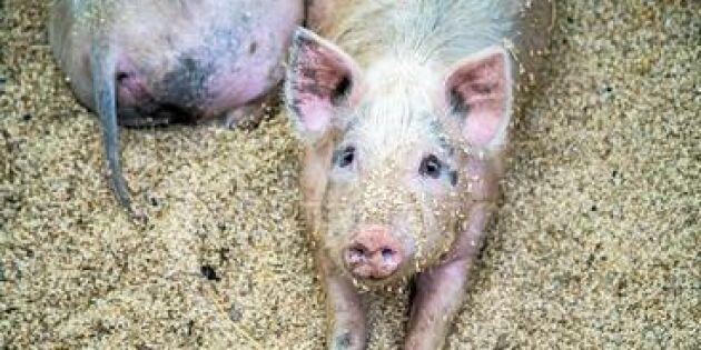 Nytt vaccin mot afrikansk svinpest