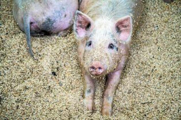 I ett 28 dagar långt försök utsattes tamgrisar för afrikansk svinpest-virus utan att bli sjuka.