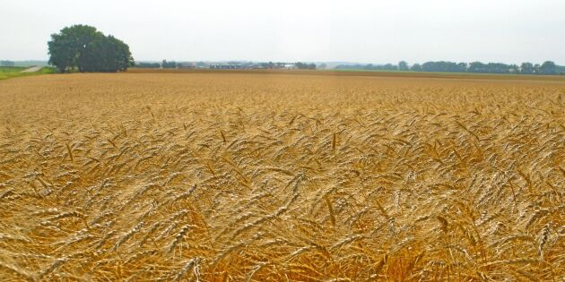 Fortsatt mindre odling av vete i USA