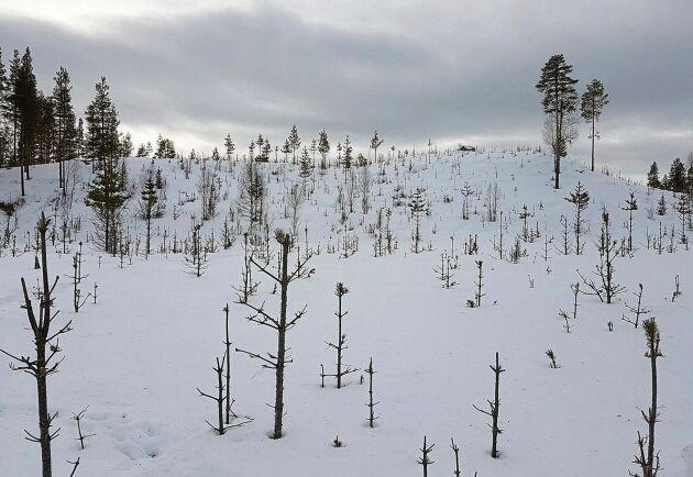 Arkivbild på älgbetad tallungskog på Sveaskogs marker i Harads, Boden.
