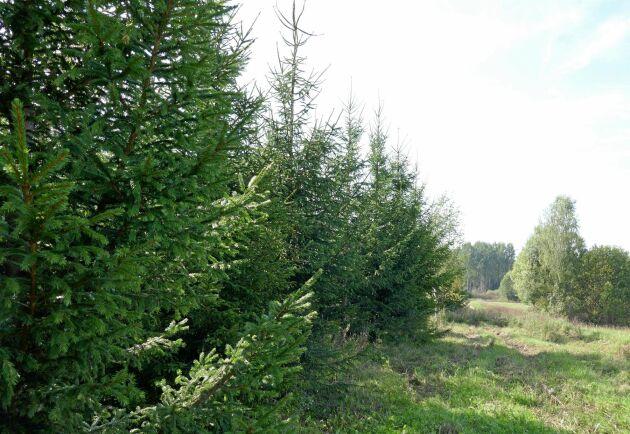 Gran växer bra på tidigare jordbruksmark i Lettland. Det 15-åriga granbeståndet har en höjd på 10 meter.