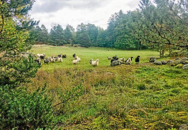 – Det är av jättestor betydelse för öborna att vi får hit en bonde som kan se till att det vackra landskapet hålls öppet, säger Bertil Ågren.