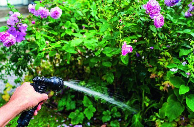 Vattna gärna dina rosor rikligt men sällan i stället för lite och ofta.