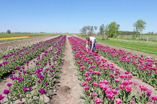 Joakim Svensson kollar så inte det kommer några tulpaner av fel färg i odlingen utanför Lunnarp på Österlen. Lökodlingen är en av två som finns i Sverige.