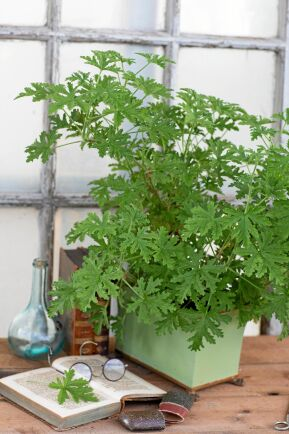 'Dr Westerlunds blomma' har funnits med oss sedan 1700-talet, en pelargon med anor!