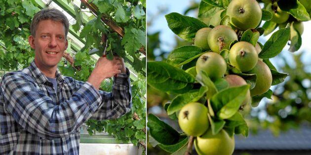Experten: Så beskär du fruktträd i torkan