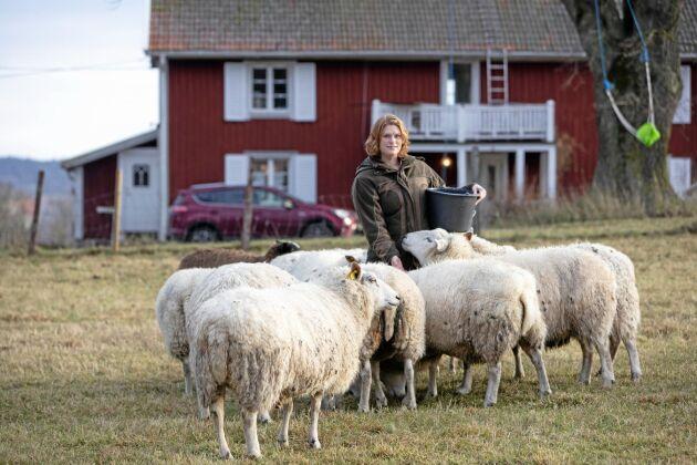 På Berga gård finns 70 tackor. Tack vare mer vallareal än vanligt klarar familjen Schneider vinterns foder.