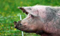 Ryskt griskött ökar rejält