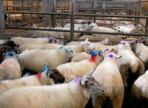 I Storbritannien är smittan betydligt vanligare, här är en bild från en fårauktion på Nordirland (arkivbild).