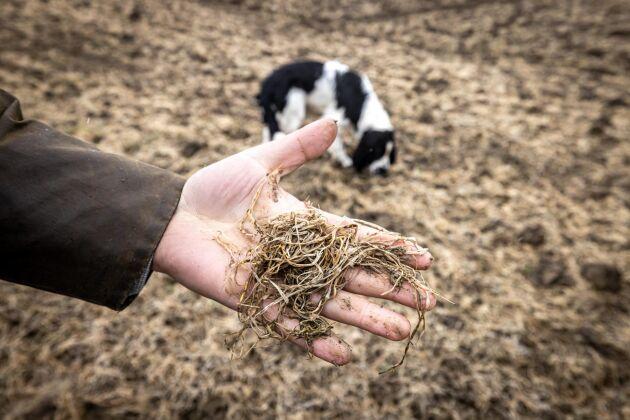 Fram till mitten av januari såg höstvetet jättefint ut, berättar Henrik Frykberger. I bakgrunden syns springel spanieln Ozzy.
